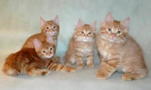 котята помет Y... Ryjikoff 13.10.2016